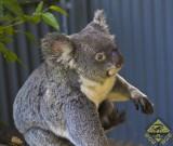 featured image Kuranda: Mit der Skyrail zu den Koalas