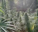 featured image Drogen kaufen in Nimbin – Anleitung für Marihuana Fans