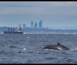 featured image Whale watching – mit Boot und mit Glück