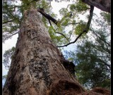 featured image Big Karri Trees