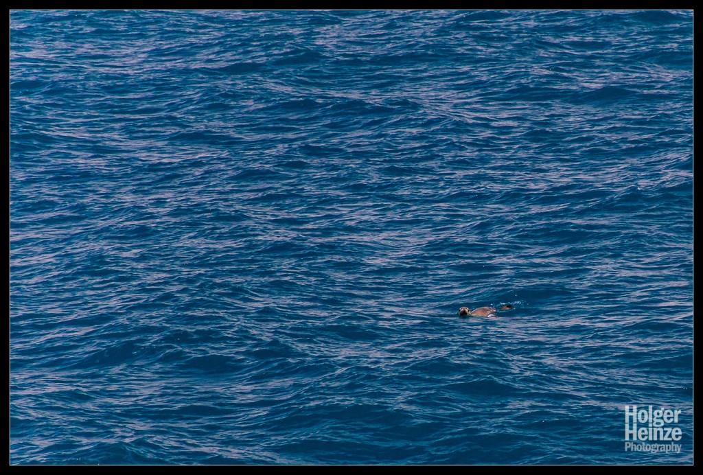 SeaLink - die Kangaroo Island Fähre - Seelöwe auf der Überfahrt