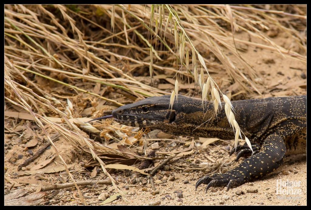 Kangaroo Island: Goanna oder auch: Rosenberg Waran