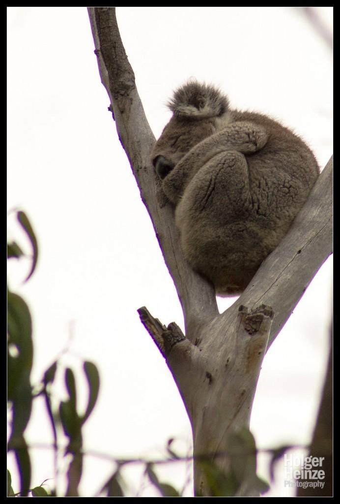 Kangaroo Island: Einfach mal ein Nickerchen machen!