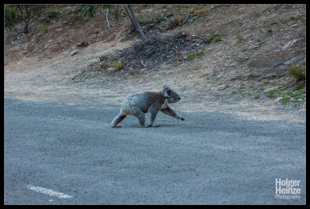 Kangaroo Island: Achtung, Koalas Crossing!