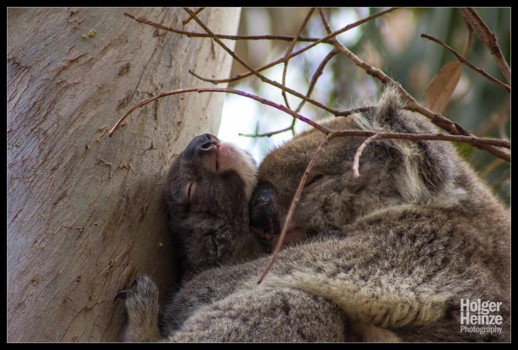 Kangaroo Island: Koala Mama und Baby kuscheln auf dem Baum