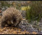 featured image Kangaroo Island – Koalas, Echidnas und steife Brisen