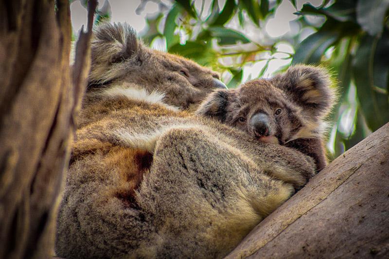 Dezember 2013: Kuschelnde Koalas